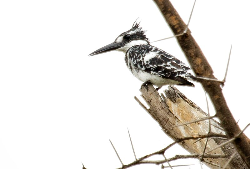 large_Pied_Kingfisher_5.jpg