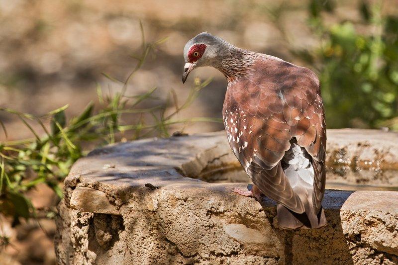 large_Pigeon__Speckled_21.jpg