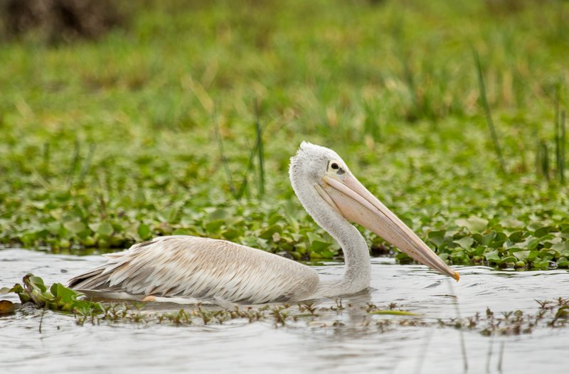 large_Pink_Backed_Pelican_32.jpg