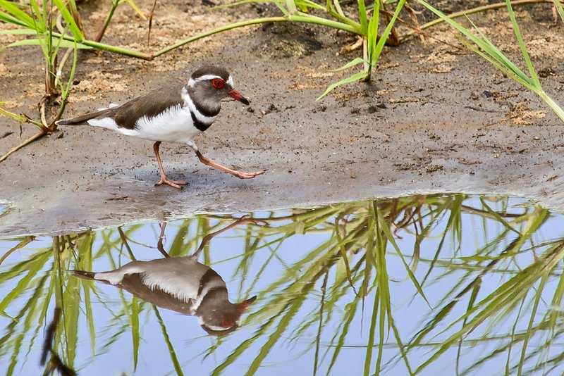 large_Plover__Three_Banded_5-1.jpg