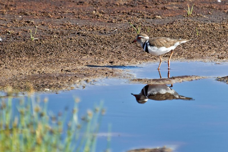 large_Plover__Two_Banded_8-1.jpg