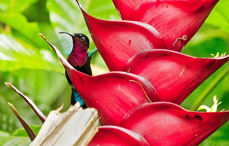 large_Purple_Throated_Carib_14.jpg