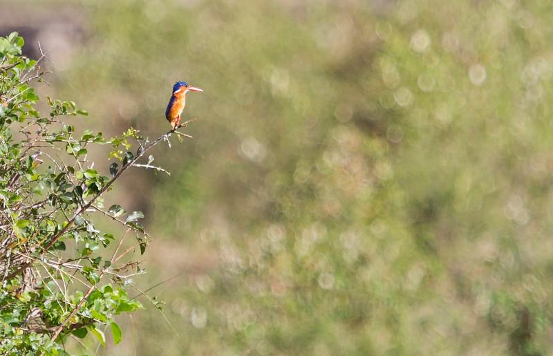 large_Pygmy_Kingfisher_71.jpg