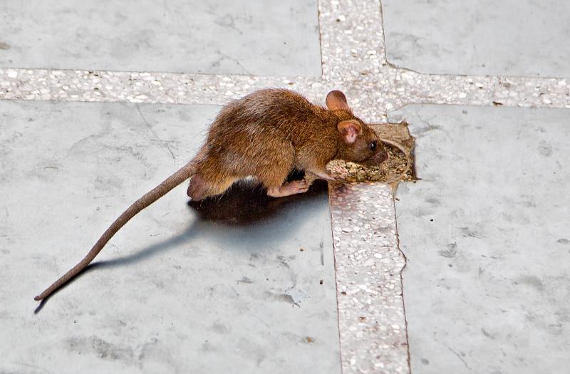 large_Rats_1.jpg