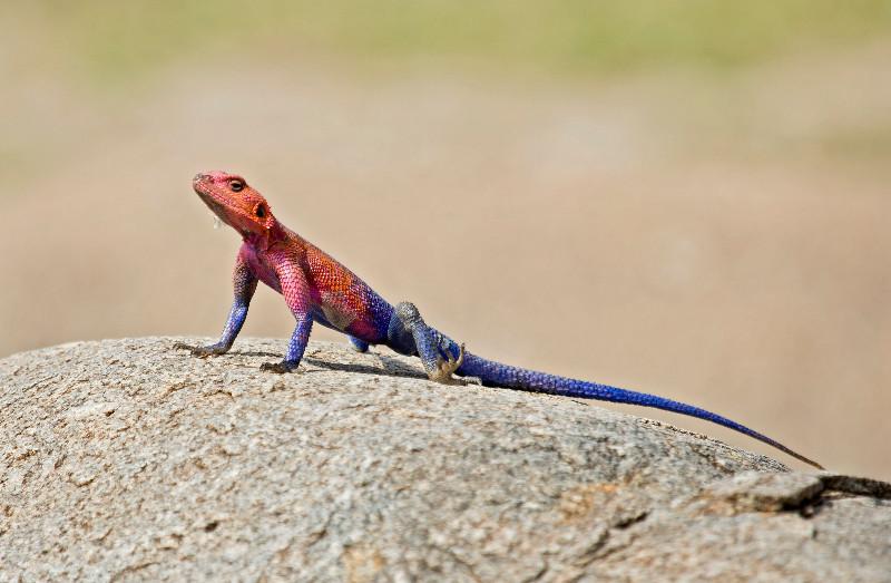 large_Red_Headed..a_Lizard_71.jpg
