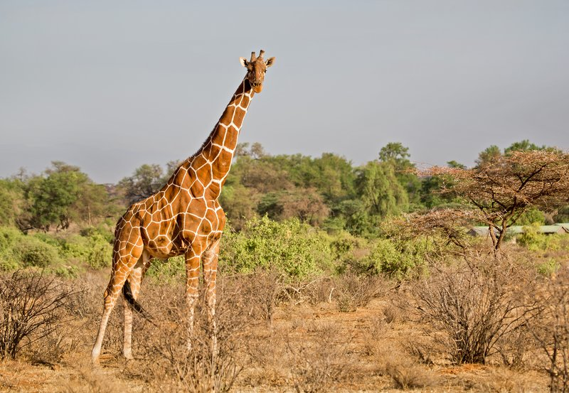 large_Reticulated_Giraffe_5.jpg