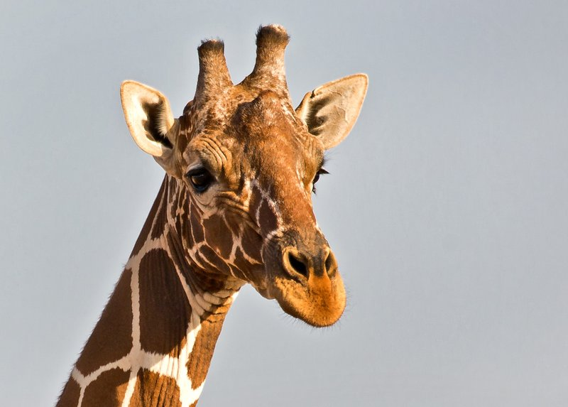 large_Reticulated_Giraffe_6.jpg