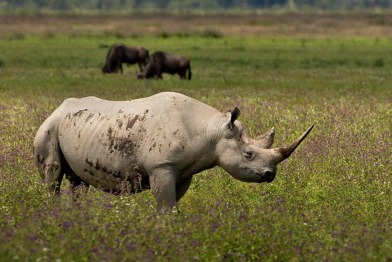 large_Rhino_34.jpg