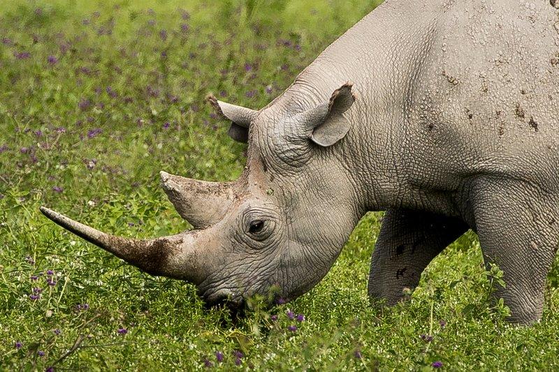large_Rhino_43.jpg