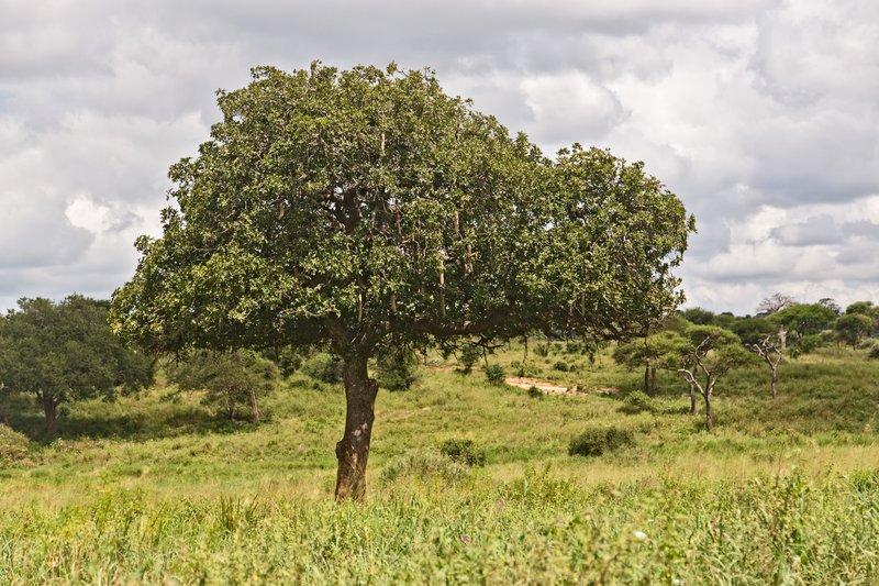large_Sausage_Tree_5-2.jpg