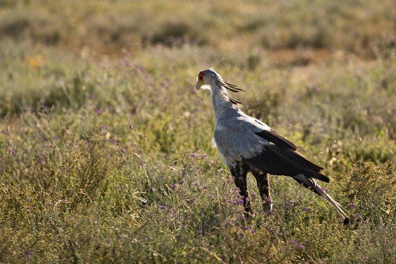 large_Secreatray_Bird_11.jpg