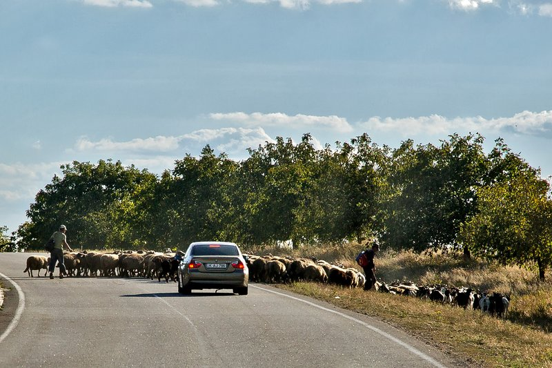 large_Sheep_on_the_Road_1.jpg