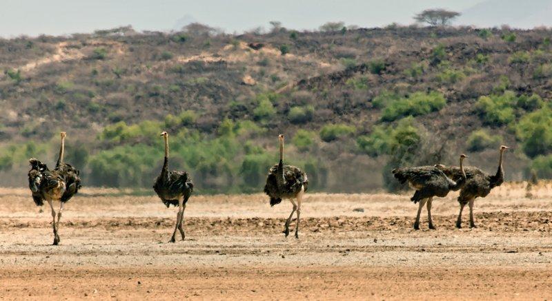 large_Somali_Ostriches_71.jpg