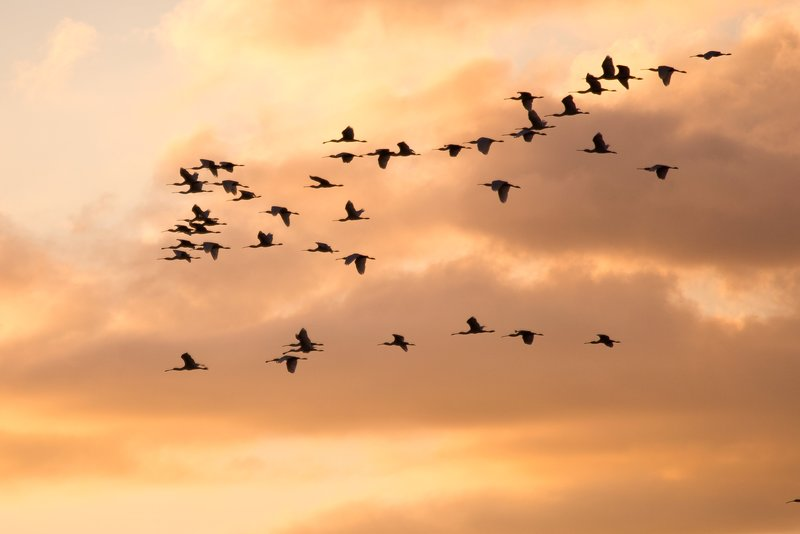 large_Spoonbills_Flying_4.jpg