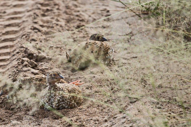 large_Spurfowl__.._Chicks_5-1.jpg