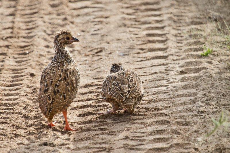 large_Spurfowl__.._Chicks_5-3.jpg
