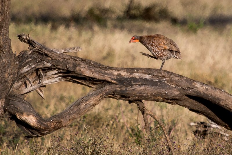 large_Spurfowl__..reasted_8-2.jpg
