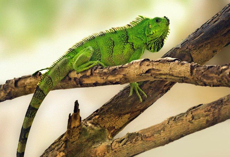 large_St_Lucia_Iguana_1.jpg