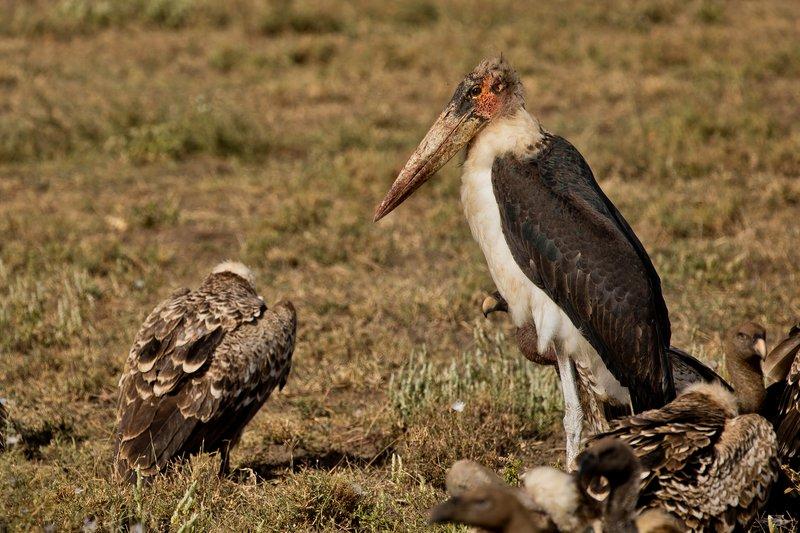 large_Stork__Marabou_1.jpg