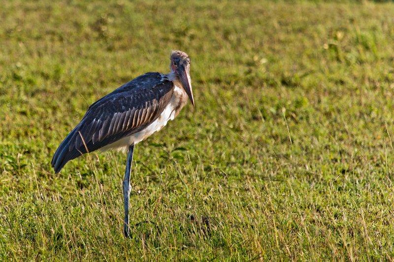 large_Stork__Marabou_10-1.jpg