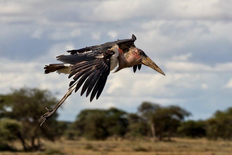 large_Stork__Marabou_2.jpg