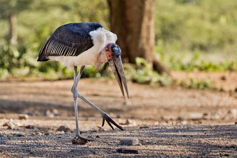 large_Stork__Marabou_805.jpg