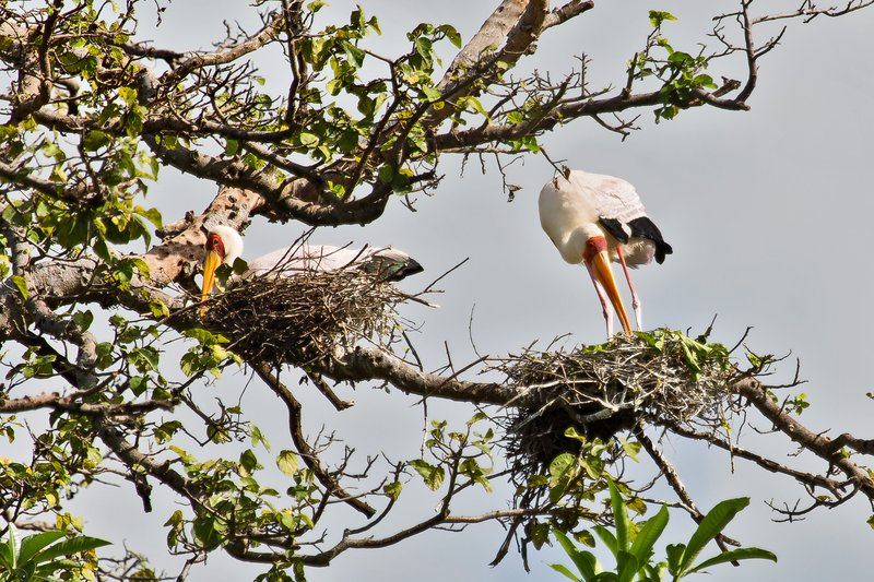 large_Storks__Yellow_Billed_6-3.jpg