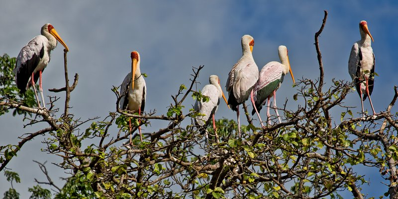 large_Storks__Yellow_Billed_6-4.jpg