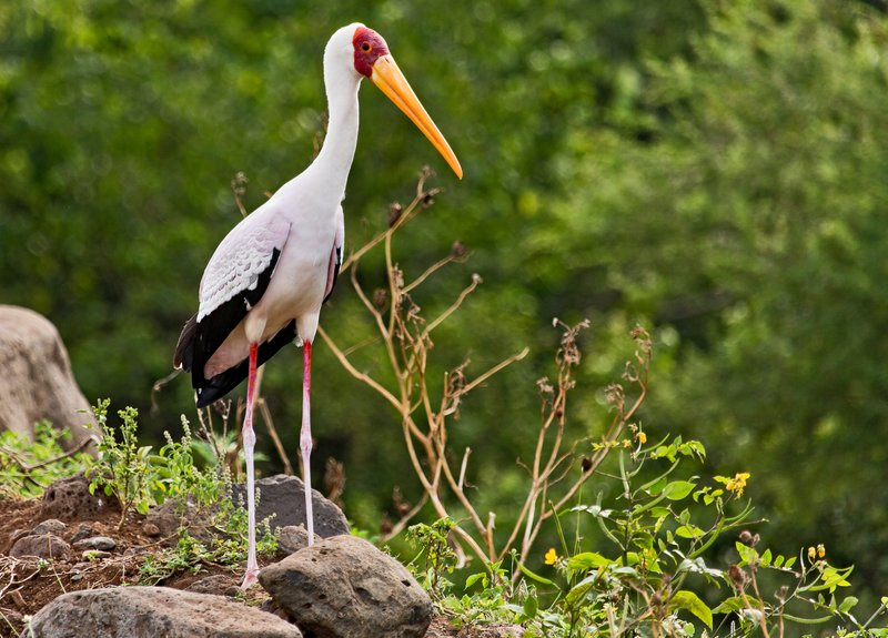 large_Storks__Yellow_Billed_6-5.jpg