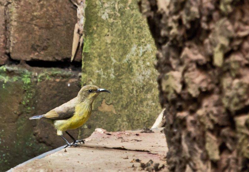 large_Sunbird__Yellow_Bellied_3.jpg