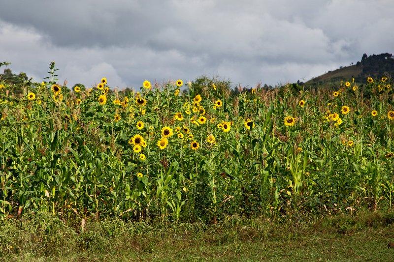 large_Sunflowers_6-11.jpg