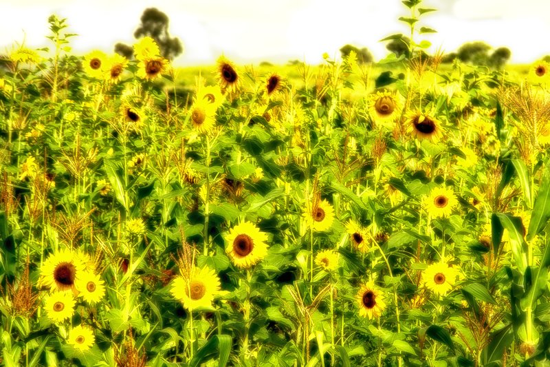large_Sunflowers_6-12_Nik.jpg