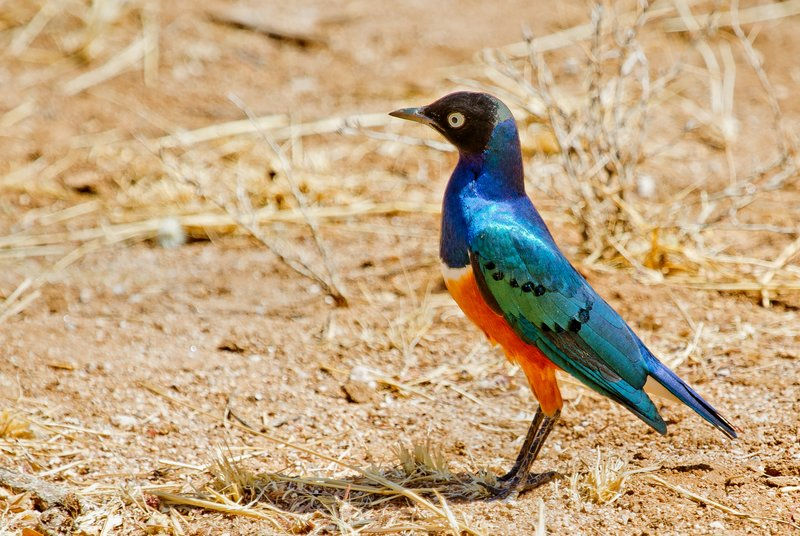 large_Superb_Starling_31.jpg