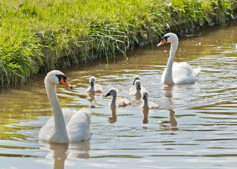large_Swans_and_Cygnets_1.jpg