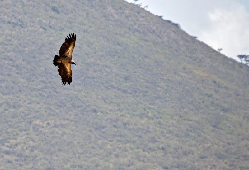large_Tawny_Eagle_1.jpg