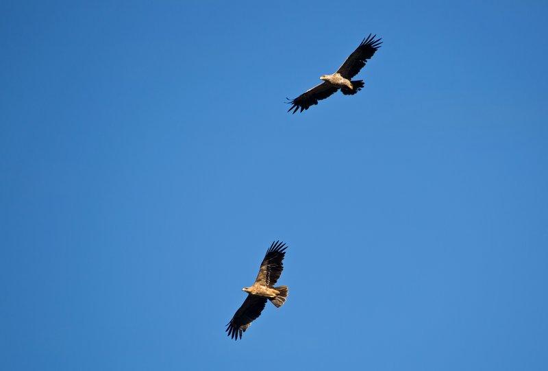 large_Tawny_Eagle_52.jpg