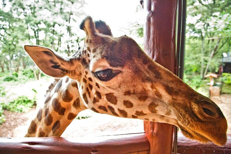 large_The_Giraffe_Centre_14.jpg