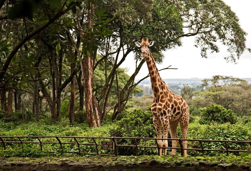 large_The_Giraffe_Centre_9.jpg