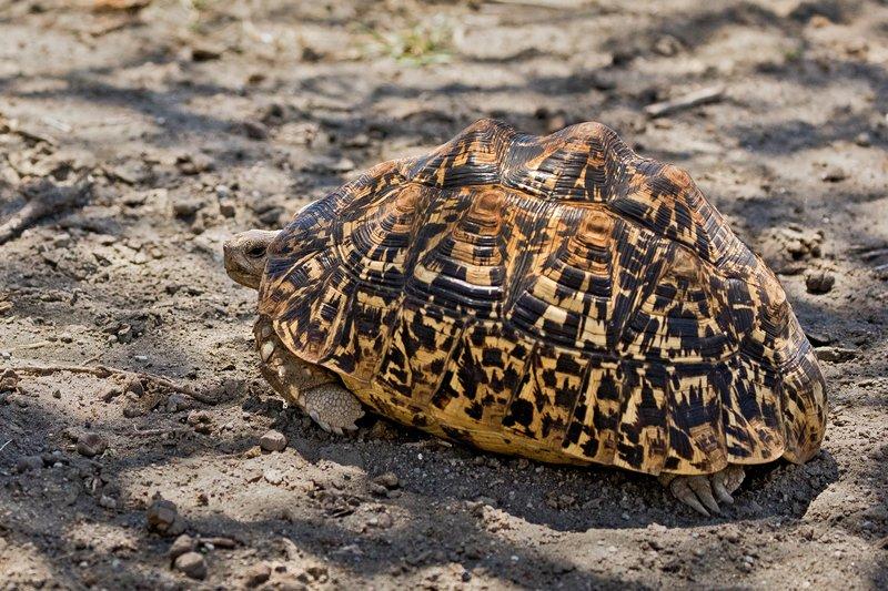 large_Tortoise__Leopard_2.jpg