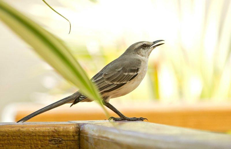 large_Tropical_Mockingbird_1.jpg