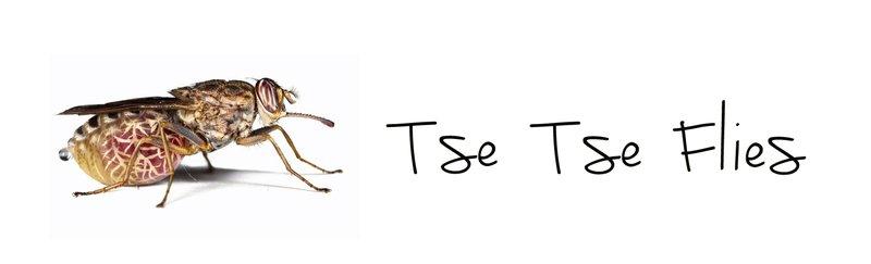 large_Tse_Tse_Flies.jpg