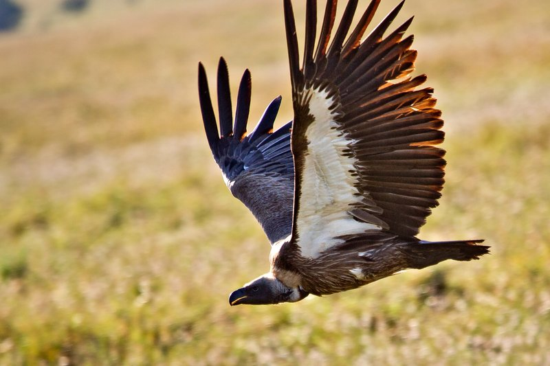 large_Vulture__A..Backed_10-1.jpg