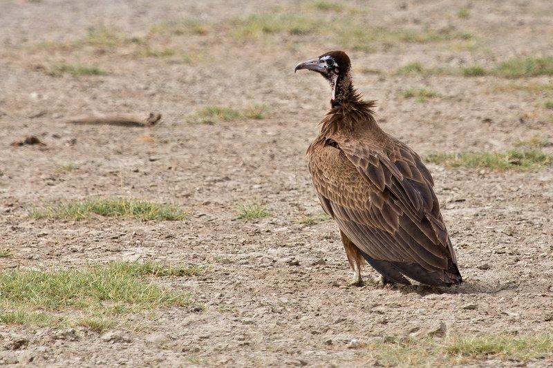 large_Vulture__Hooded_8-1.jpg