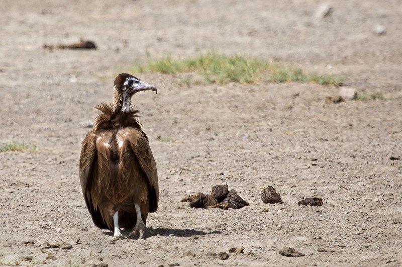 large_Vulture__Hooded_8-3.jpg