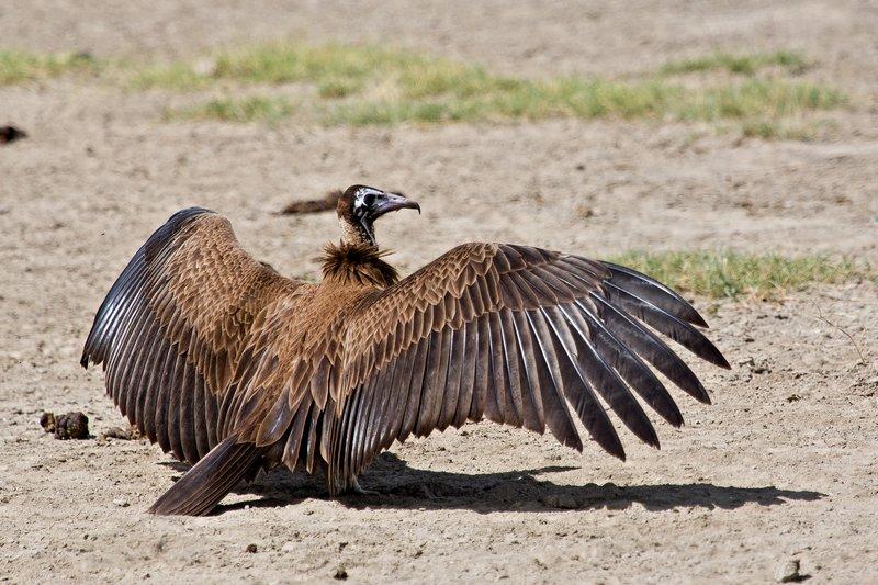large_Vulture__Hooded_8-4.jpg
