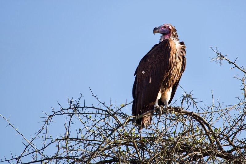 large_Vulture__Lappet_Faced_8-1.jpg