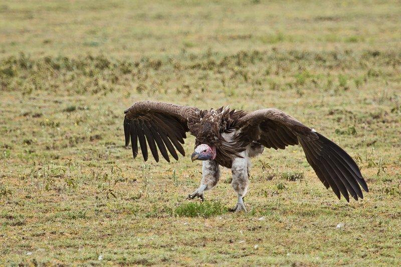 large_Vulture__White_Headed_7-1.jpg