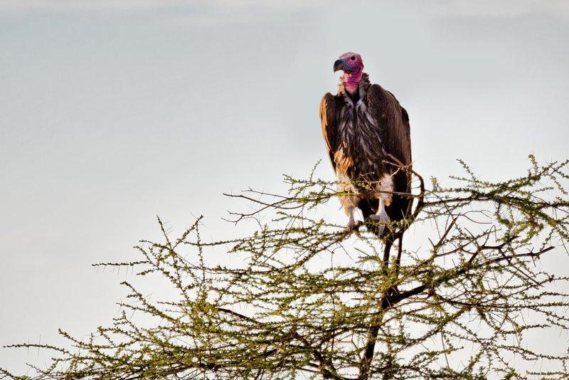 large_Vulture__l.._Faced_9-61.jpg