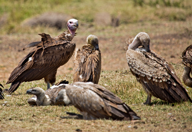 large_Vultures_4.jpg