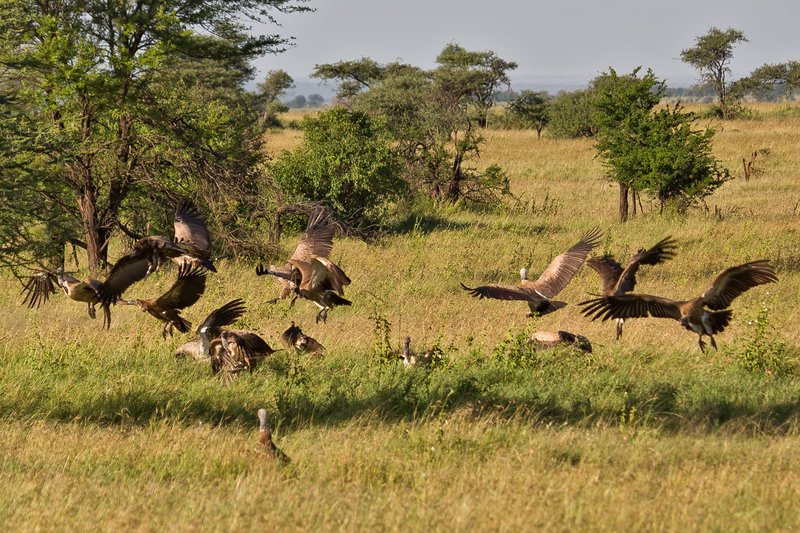 large_Vultures_Swooping_10-3.jpg